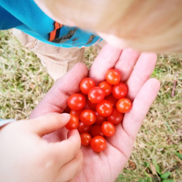 Ich glaub meine Tomatenernte bekomm ich nicht ins Haus gerettethellip